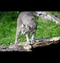 Bobcat glands/secretions