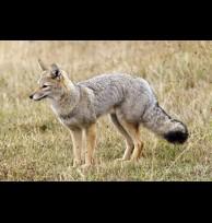 Gray fox glands/secretions