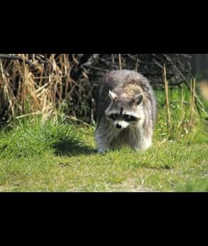 Raccoon Galls/Urine Compound