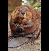 Beaver castor, paste