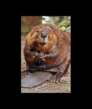 Beaver castor, liquid